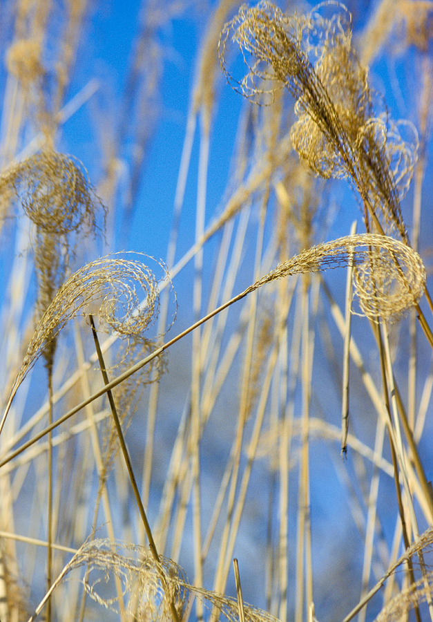 Harvest Photograph - Eulalia Grass Native To East Asia by Anonymous