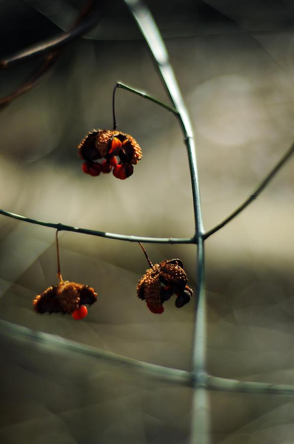 Euonymus americanus  Winter Form by Rebecca Sherman