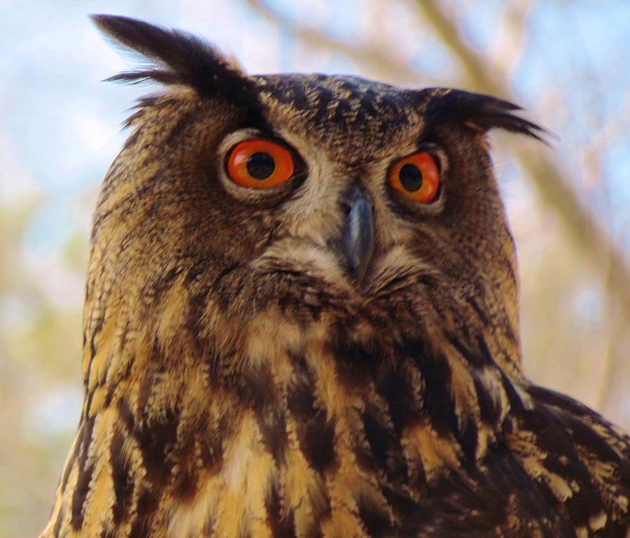 Eurasian Photograph - Eurasian Eagle Owl by Cynthia Guinn
