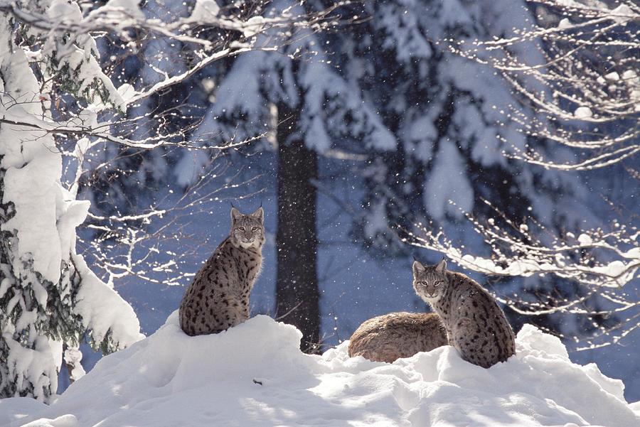 Eurasian Lynx Trio Resting Photograph by Konrad Wothe