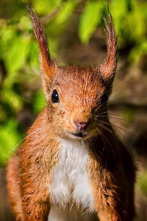 Red Squirrel Photograph - Eurasian Red Squirrel by Susie Peek