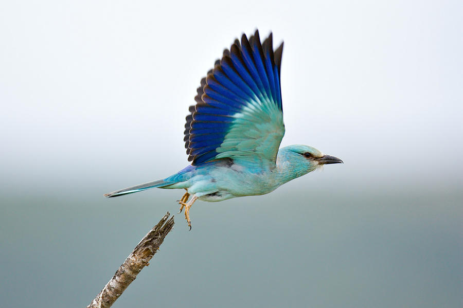 Action Photograph - Eurasian Roller by Johan Swanepoel