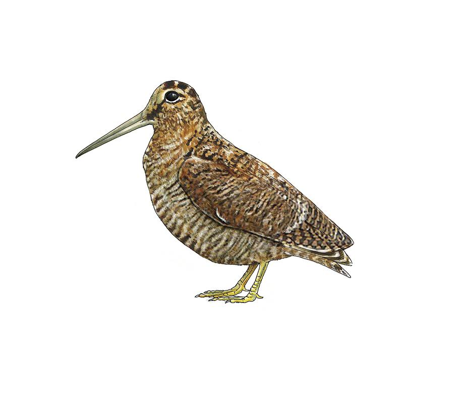 Cutout Photograph - Eurasian Woodcock, Artwork by Science Photo Library