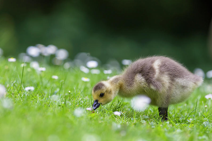 Grass Photograph - Europe, Germany, Bavaria, Canada Goose by Westend61