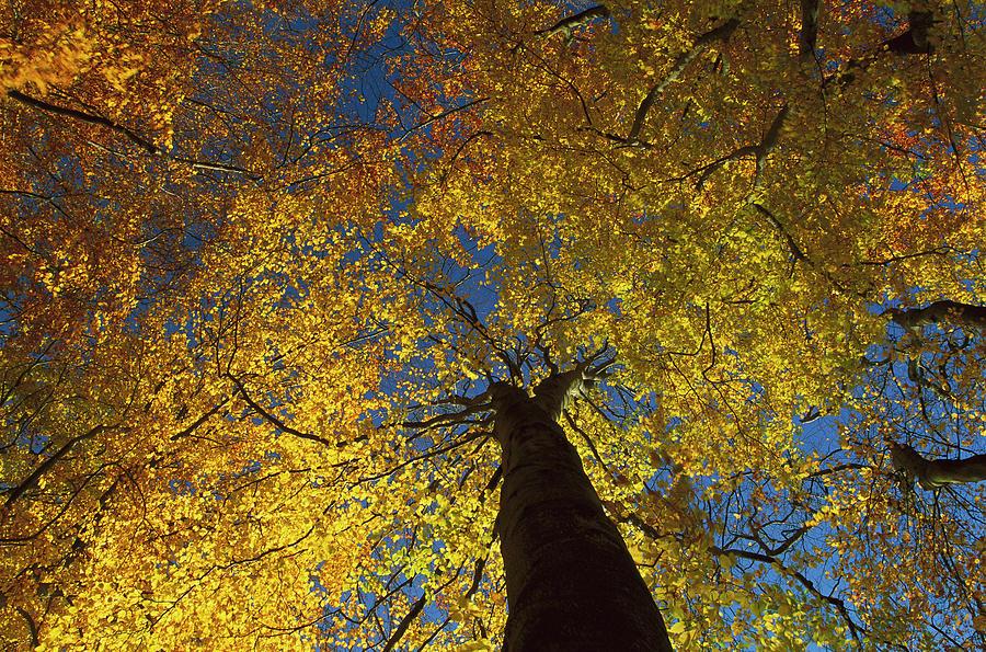 European Beech Fagus Sylvatica Trees Photograph by Christian Ziegler