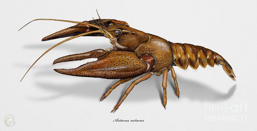 European Crayfish Astacus Astacus - Flusskrebs - Ecrevisse A Pattes Rouges - Jokirapu Painting