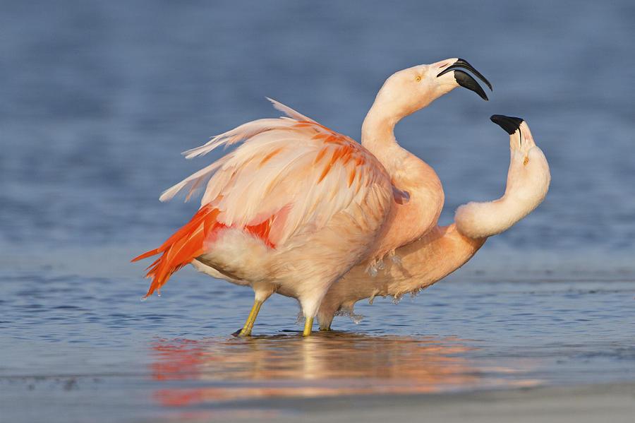Nis Photograph - European Flamingo Pair Courting by Ronald Kamphius
