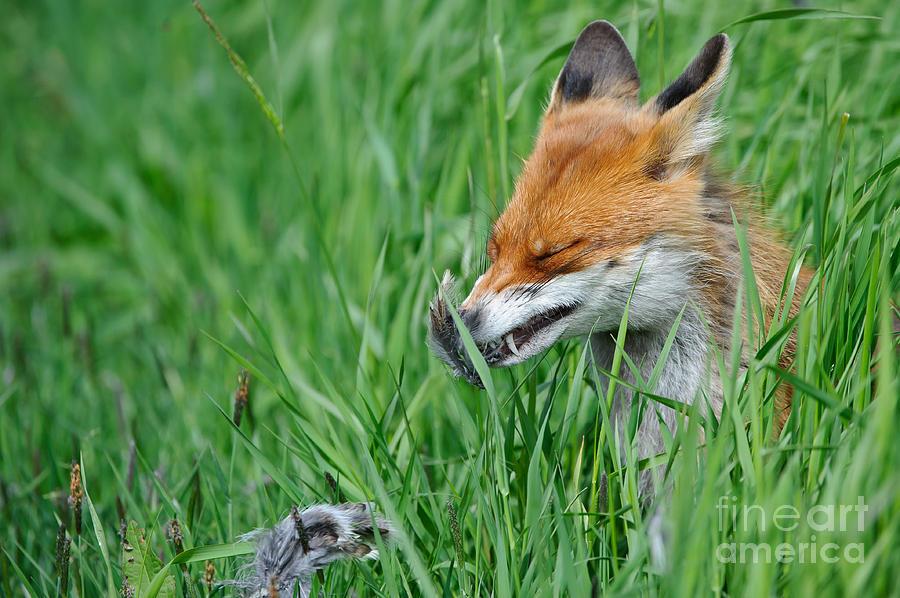 European Fox Eating Bird Photograph By Willi Rolfes