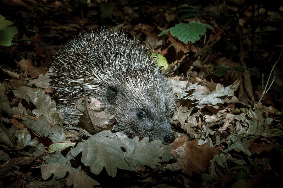 Europe Photograph - European Hedgehog At Night by Paul Williams