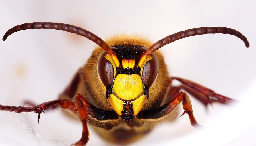 Wasp Photograph - European Hornet-vespa Crabro by Marko Lengar