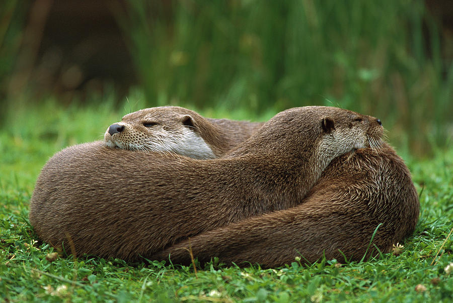 European River Otter Lutra Lutra Photograph by Ingo Arndt