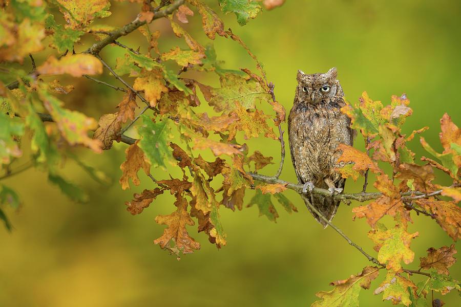 Owl Photograph - European Scops Owl by Milan Zygmunt