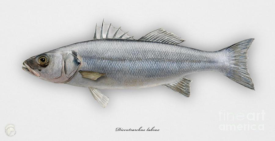 European Seabass Dicentrarchus Labrax - Bar Commun - Loup De Mer - Lubina - Havabor - Seafood Art Painting