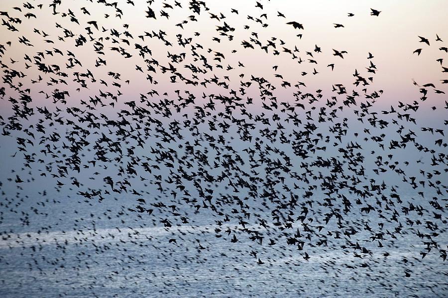 Sturnus Vulgaris Photograph - European Starling Flock by Dr P. Marazzi/science Photo Library