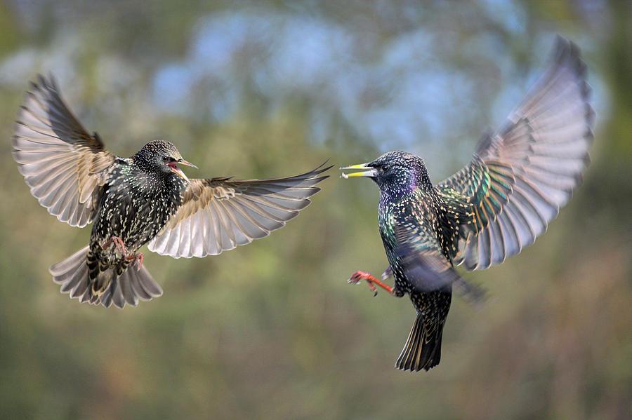 Sturnus Vulgaris Photograph - European Starlings Fighting by Simon Booth/science Photo Library
