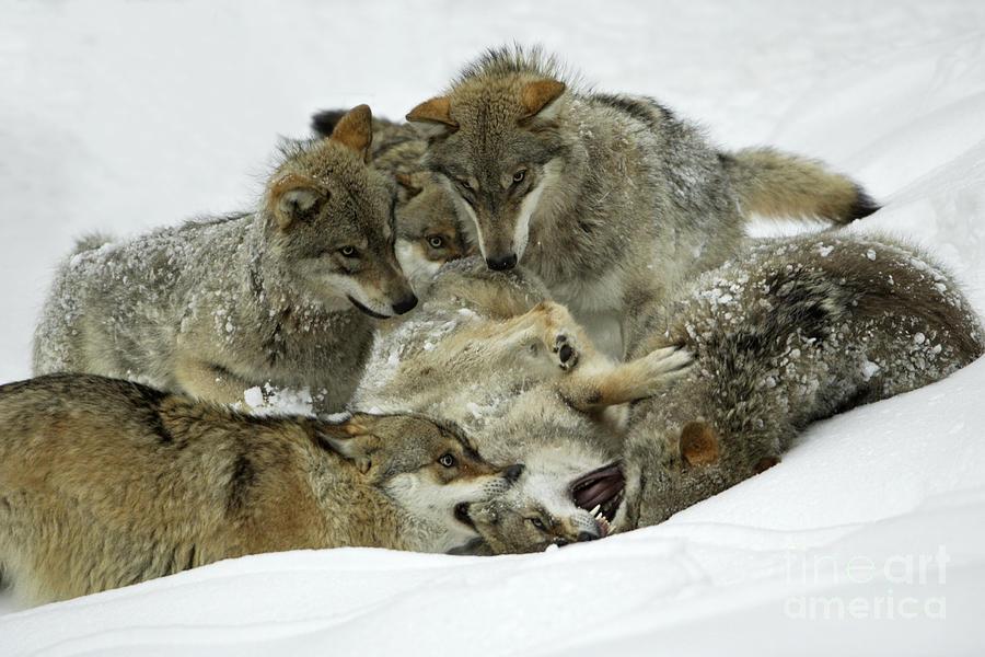 Wolf Spiel