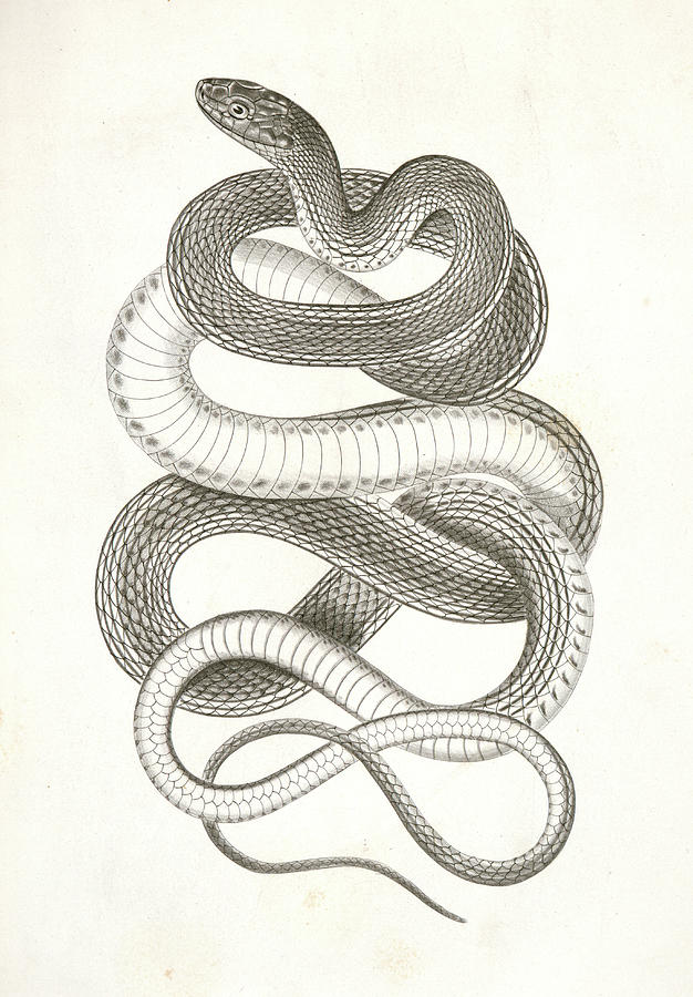Eutania Vagrans The Large Headed Striped Snake Drawing By