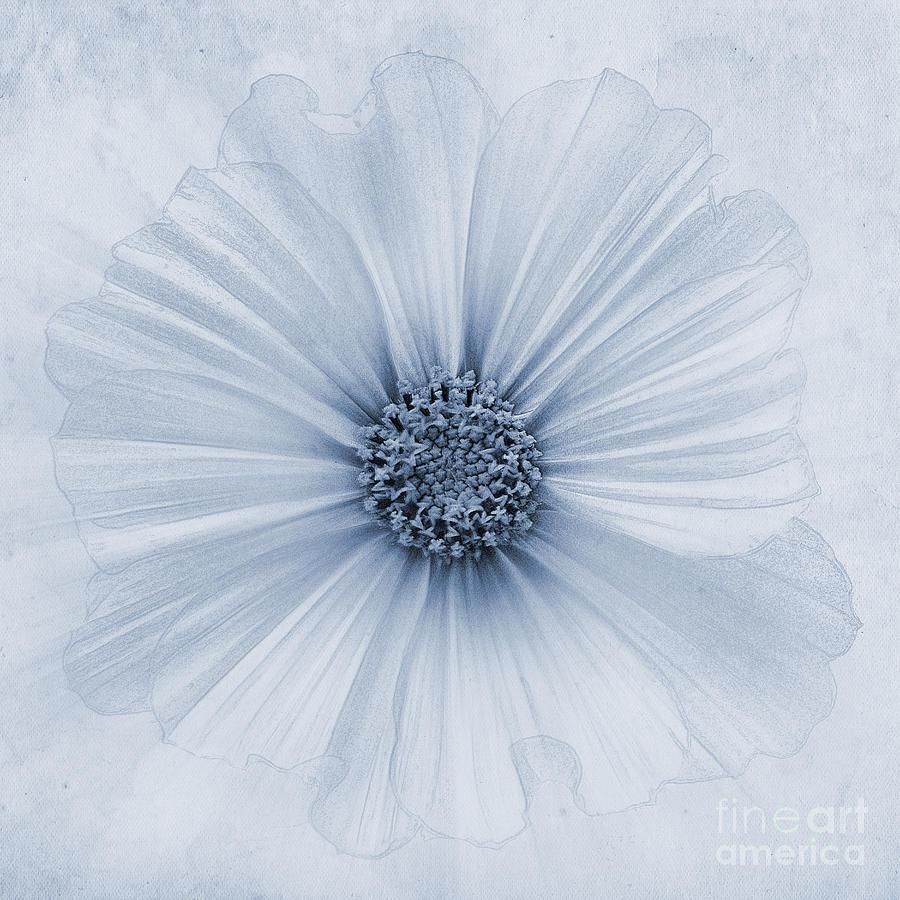 Cosmos Bipinnatus Photograph - Evanescent Cyanotype by John Edwards