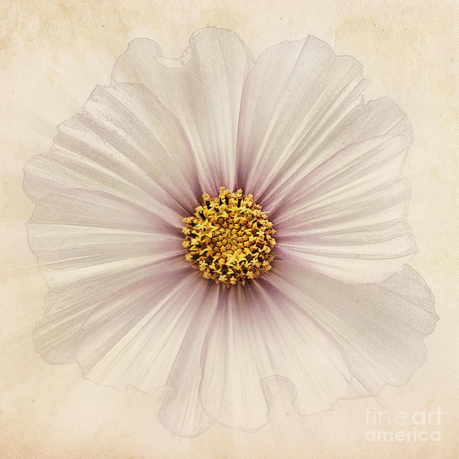 Cosmos Bipinnatus Photograph - Evanescent by John Edwards