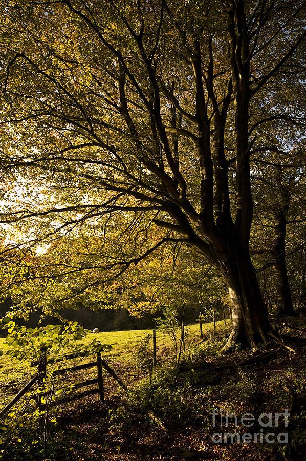 Autumn Photograph - Evening Beech by Anne Gilbert