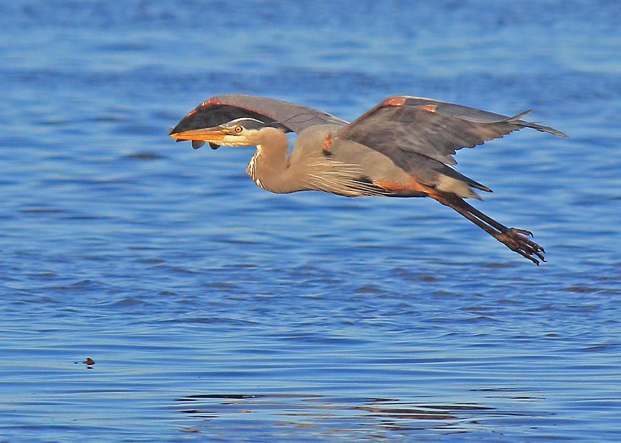 Great Blue Heron Photograph - Evening Flight by Randy Hall