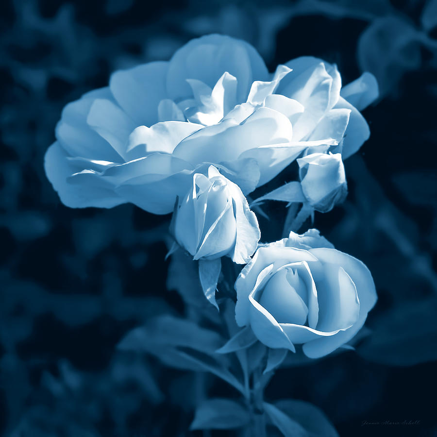 evening light blue roses in the garden photograph by jennie marie schell