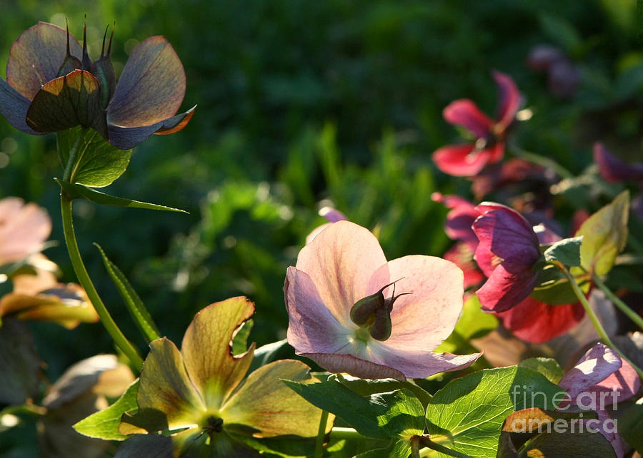 Flowers Photograph - Evening Light by Liz  Alderdice