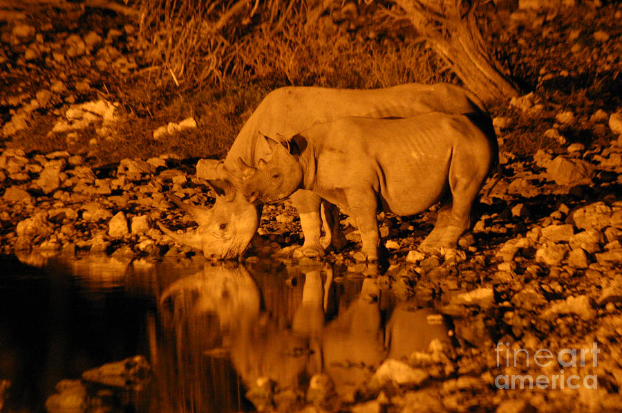 Rhino Photograph - Evening Reflection by Alison Kennedy-Benson