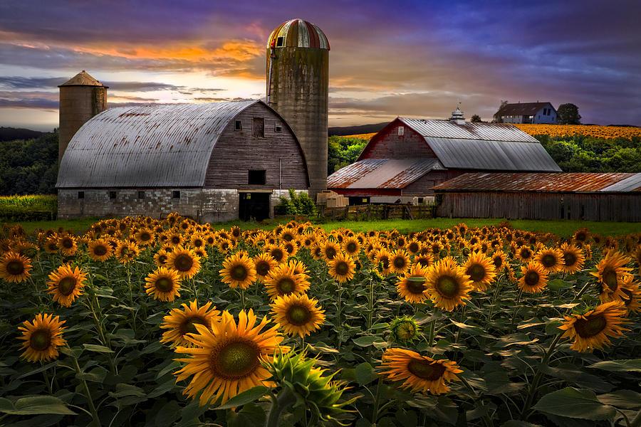 Barn Photograph - Evening Sunflowers by Debra and Dave Vanderlaan