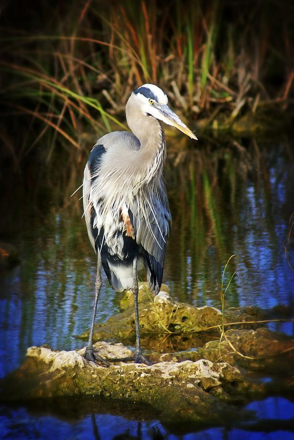 Heron Photograph - Everglades Blue by Marty Koch