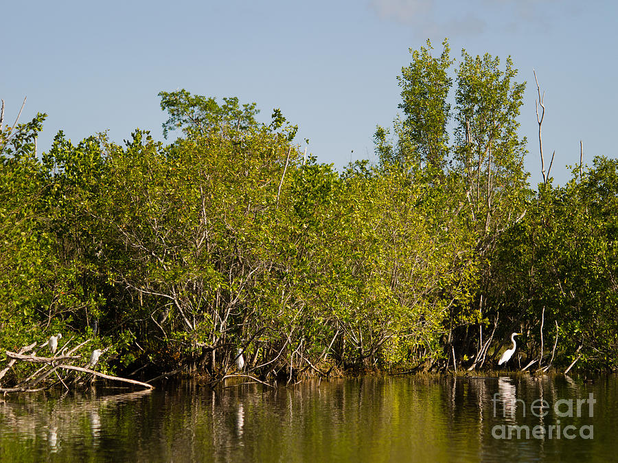 Anhinga Trail Photograph - Everglades  Egrets by Tracy Knauer