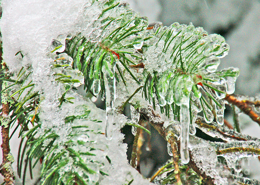 Icicles Photograph - Evergreen Icicles IIi by Chuck Flewelling