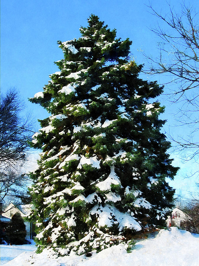 Evergreen Photograph - Evergreen In Winter by Susan Savad
