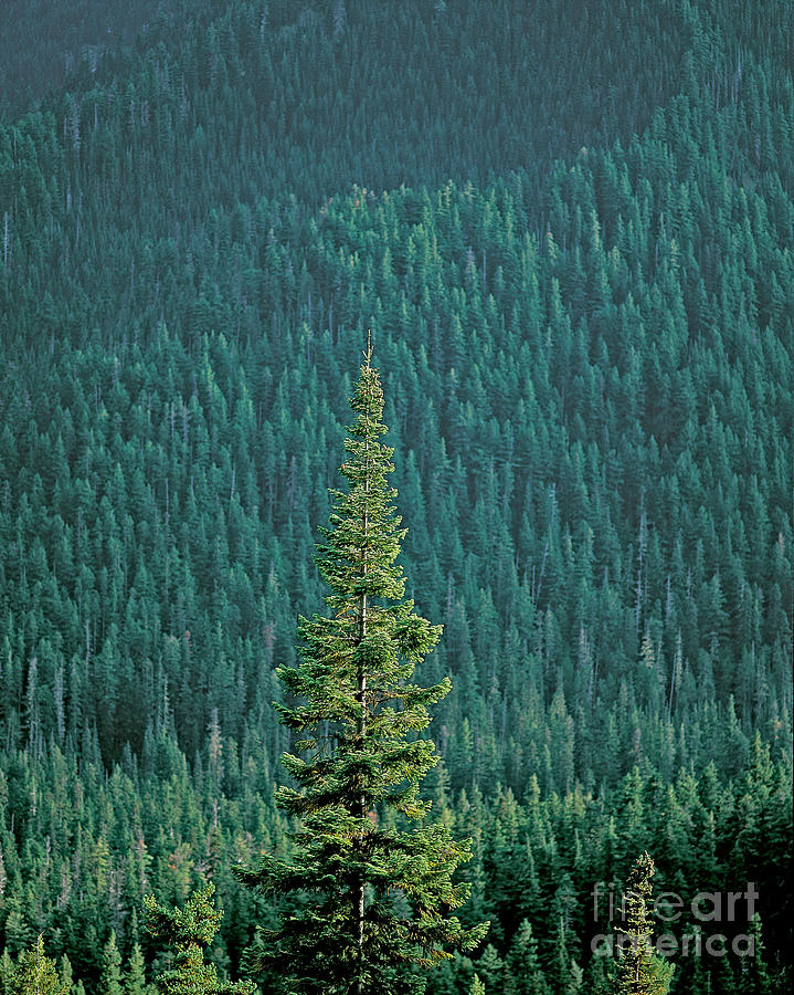 Plant Photograph - Evergreen Trees by Jim Corwin