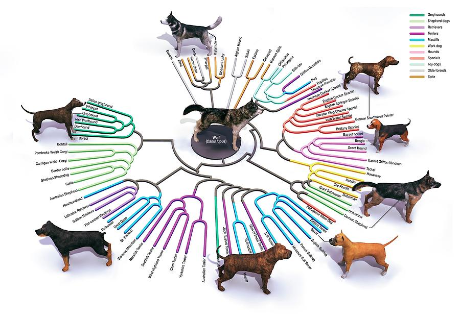 Domestic Dog Photograph - Evolution Of Dog Breeds by Jose Antonio Penas/science Photo Library