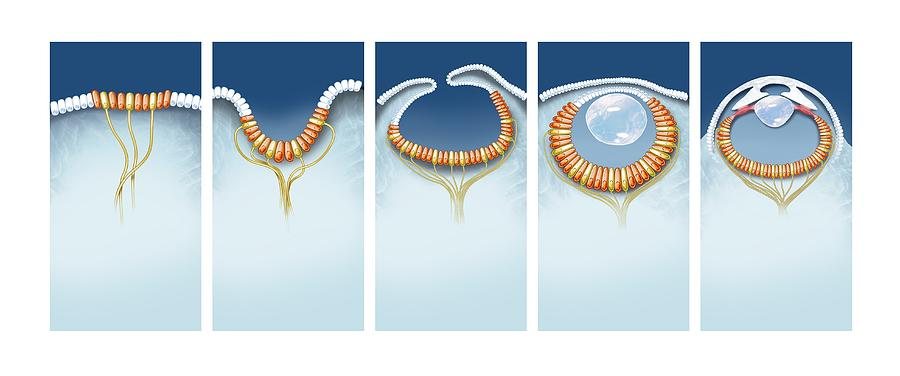 Biology Photograph - Evolution Of The Eye, Artwork by Science Photo Library