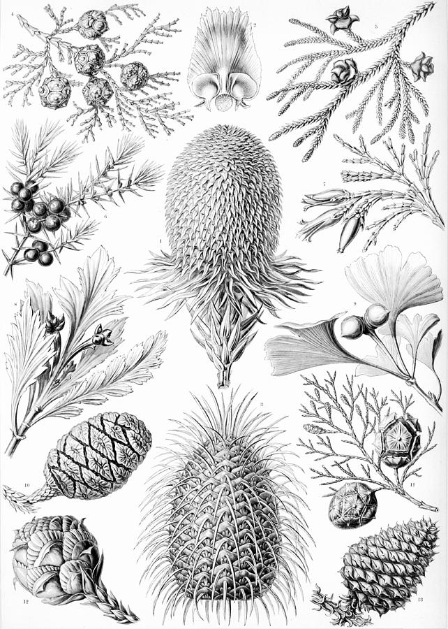 Botany Drawing - Examples Of Coniferae From Kunstformen by Ernst Haeckel