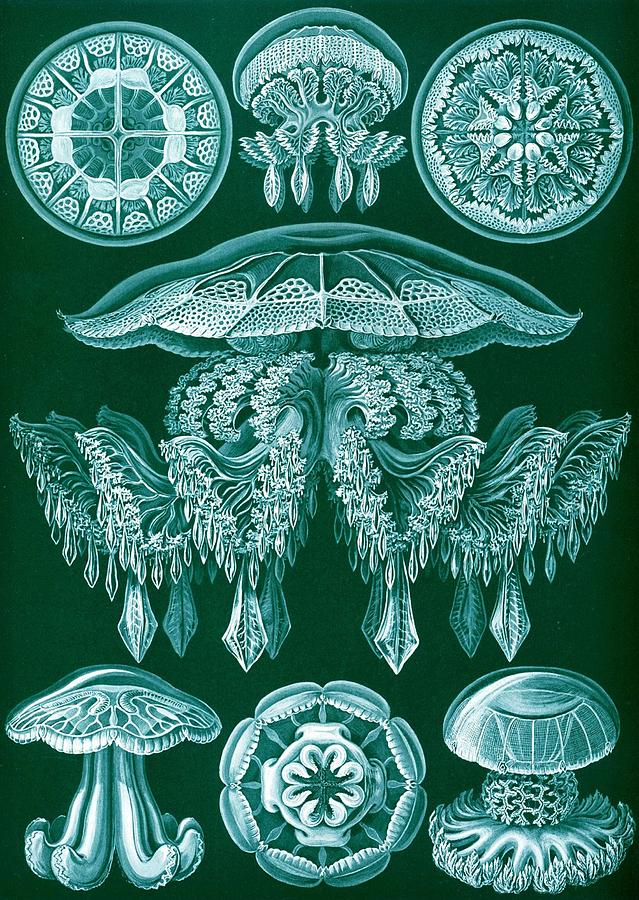 Zoology Drawing - Examples Of Discomedusae by Ernst Haeckel