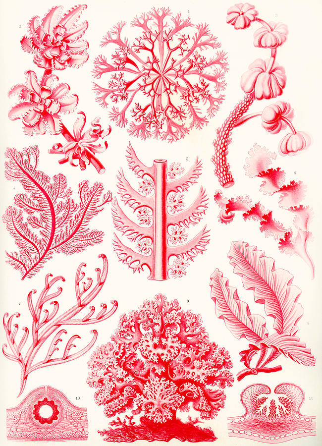 White Painting - Examples Of Florideae From Kunstformen Der Natur by Ernst Haeckel