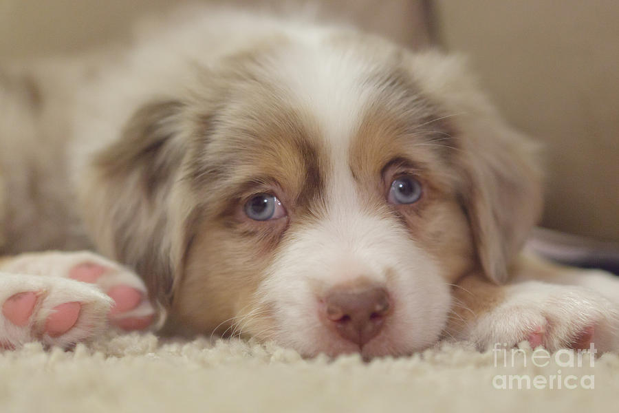 Australian Shepherd Photograph - Exhausting Being A Puppy by Kay Pickens
