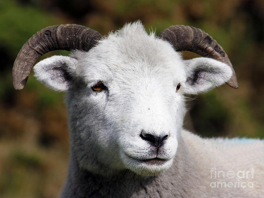 Exmoor Horn Sheep Photograph - Exmoor Horn Sheep by Terri Waters