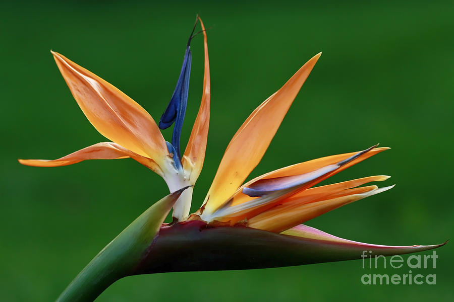 Bird Of Paradise Flower Photograph - Exotic Bird Of Paradise by Inspired Nature Photography Fine Art Photography