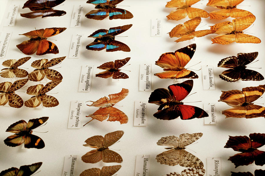 Butterfly Photograph - Exotic Butterfly Collection by Mauro Fermariello/science Photo Library