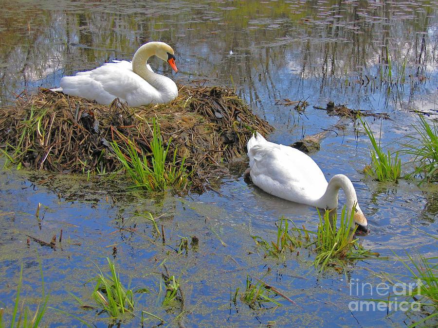 Swan Photograph - Expectant by Ann Horn