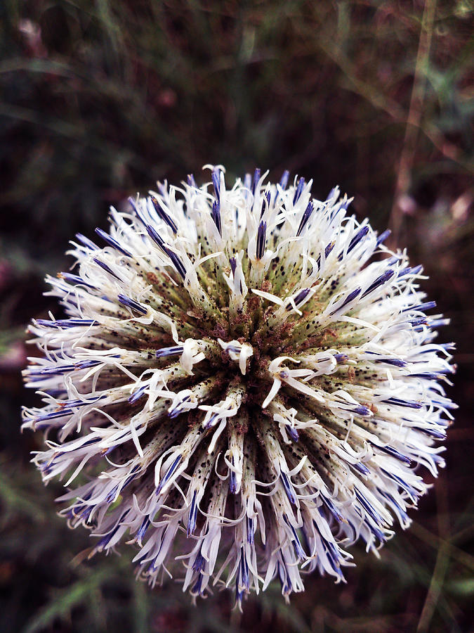 Plant Photograph - Explosion by Lucy D