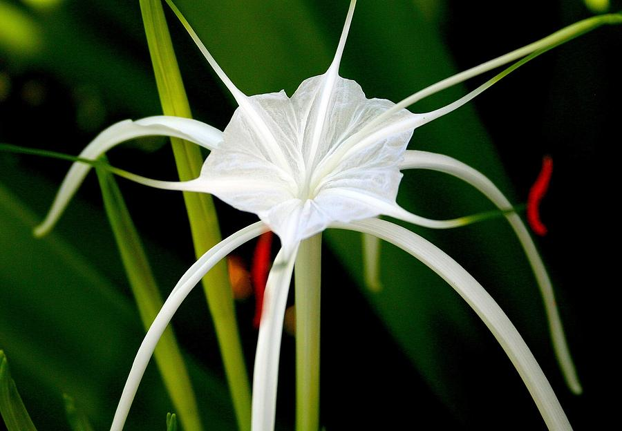 Spider Lily Photograph - Exquisite Spider Lily by Laurel Talabere