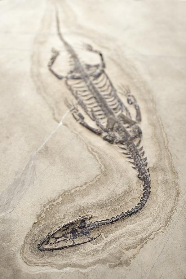 Aquatic Photograph - Extinct Triassic Reptile by Science Photo Library