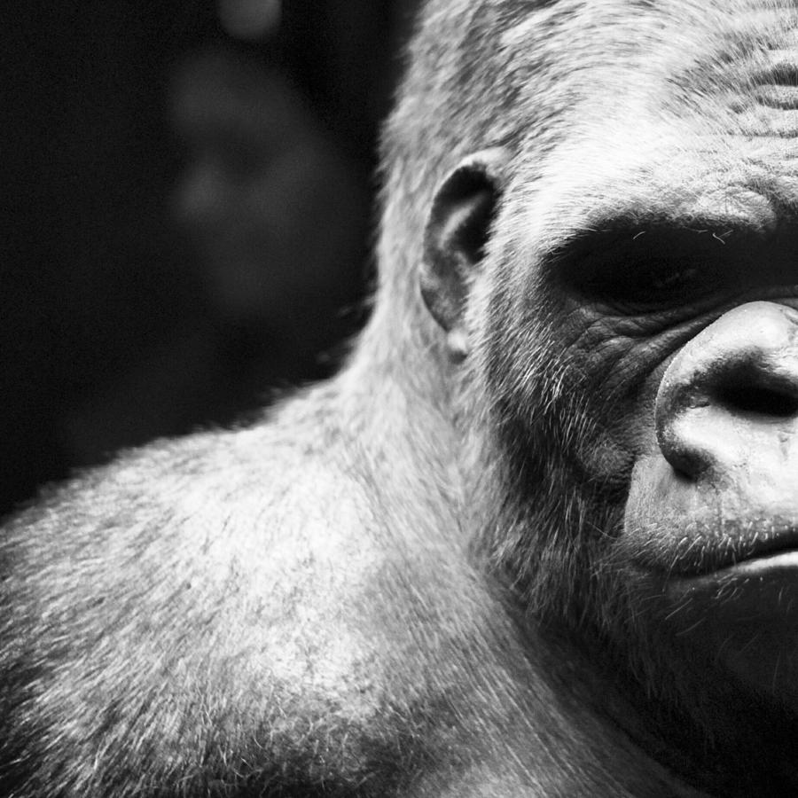 Extreme Close-up Of Gorilla Photograph by Ali Roshanzamir / Eyeem