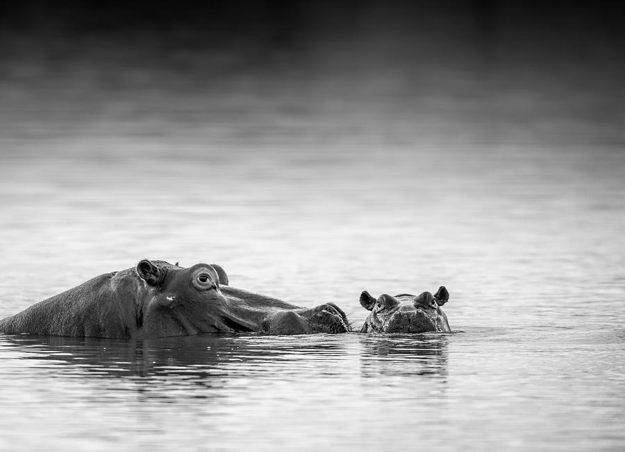 Hippo Photograph - Eye Level by Jaco Marx