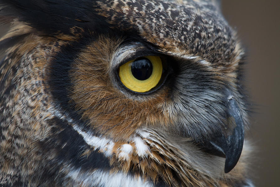 Bird Photograph - Eye Of The Owl by Craig Brown